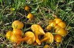 Golden Waxcap (Hygrocybe chlorophana)